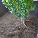 Tree Transplanting - Bohmer's Tree Care