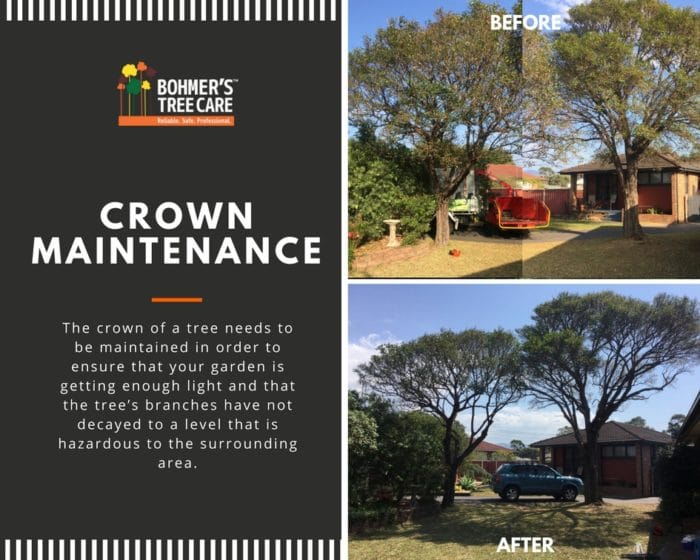 [Crown Maintenance] Before & After Bohmer's Tree Care