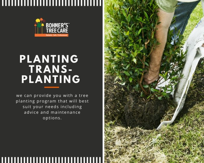 Planting and Transplanting Services - Bohmer's Tree Care